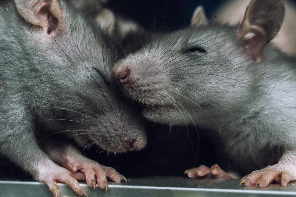 Крысы умеют заключать сделки – ученые.Вокруг Света. Украина