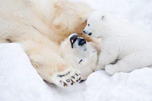 Сильные и уязвимые: 15 интересных фактов о полярных медведях