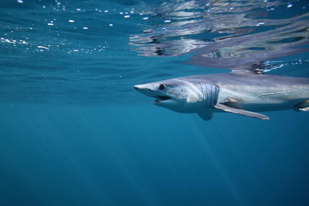 Ученые разгадали загадку самой быстрой акулы в мире