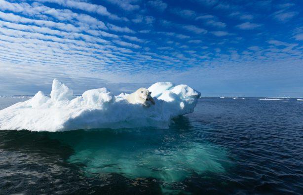 Сильные и уязвимые: 15 интересных фактов о полярных медведях Сильные и уязвимые: 15 интересных фактов о полярных медведях shutterstock 497256646 614x395
