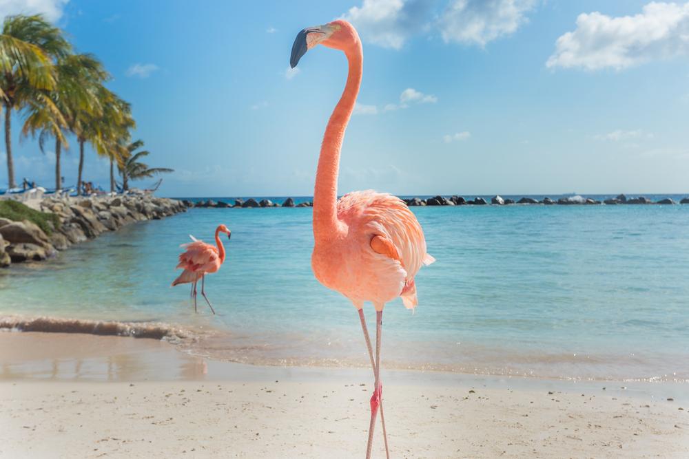 На Багамах ищут шефа над  фламинго.Вокруг Света. Украина