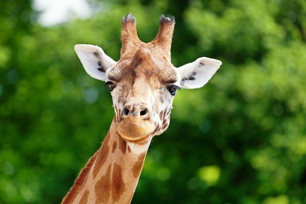 Освобожденный жираф упал от избытка эмоций