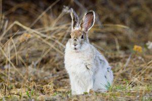 Зайцы перестали менять цвет из-за глобального потепления