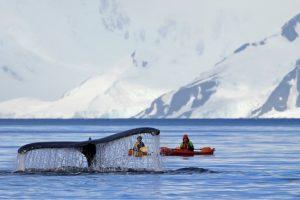 Ученые сняли редкое подлёдное видео кормежки кита