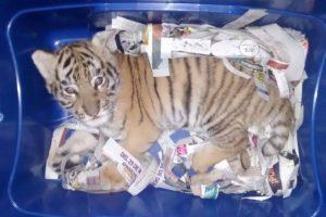 Мексиканец отправил по почте коробку с живым тигром
