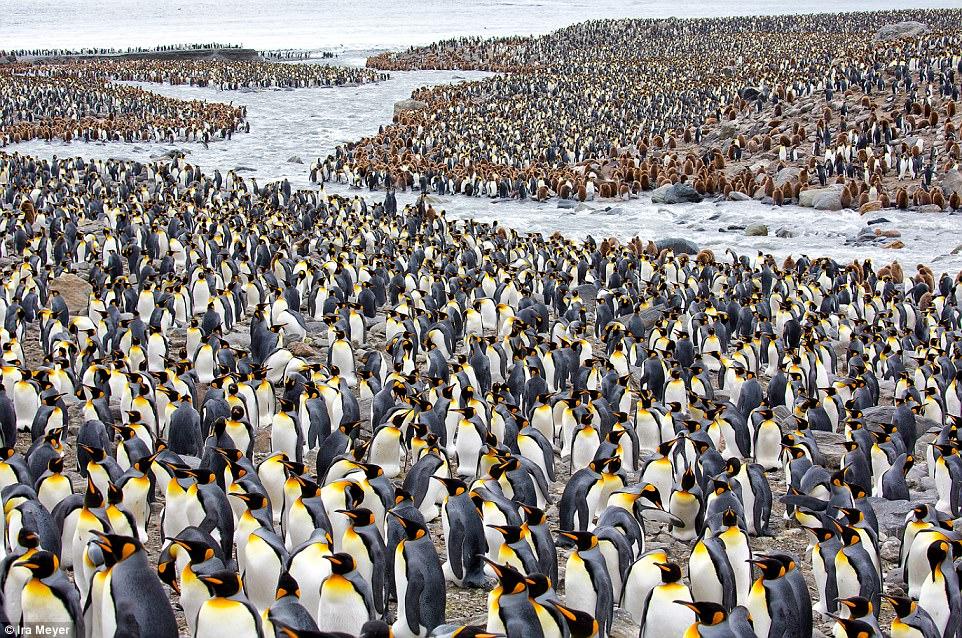 Королевские пингвины находятся под угрозой исчезновения