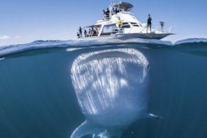 Гигантская китовая акула против катера с туристами:  фото