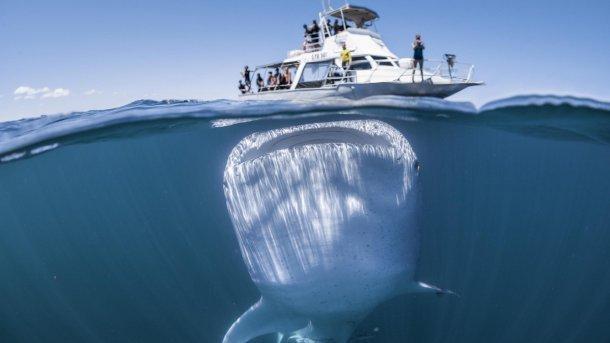 Гигантская китовая акула против катера с туристами:  фото.Вокруг Света. Украина