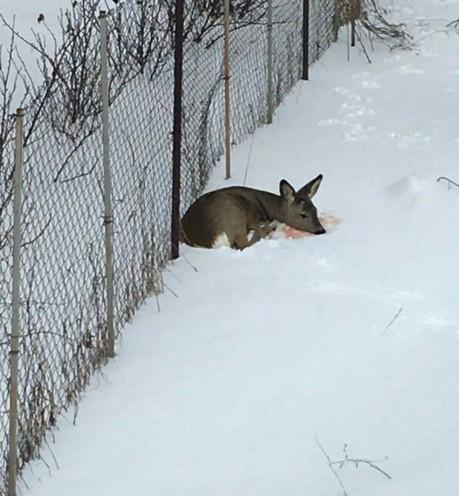 Под Киевом спасли раненого олененка
