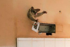 В Австралии опоссум повторил судьбу Винни-Пуха