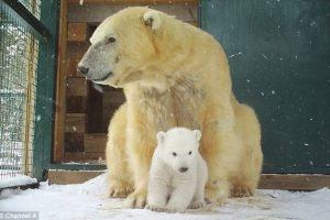 В Шотландии родился полярный медвежонок. Впервые за 25 лет