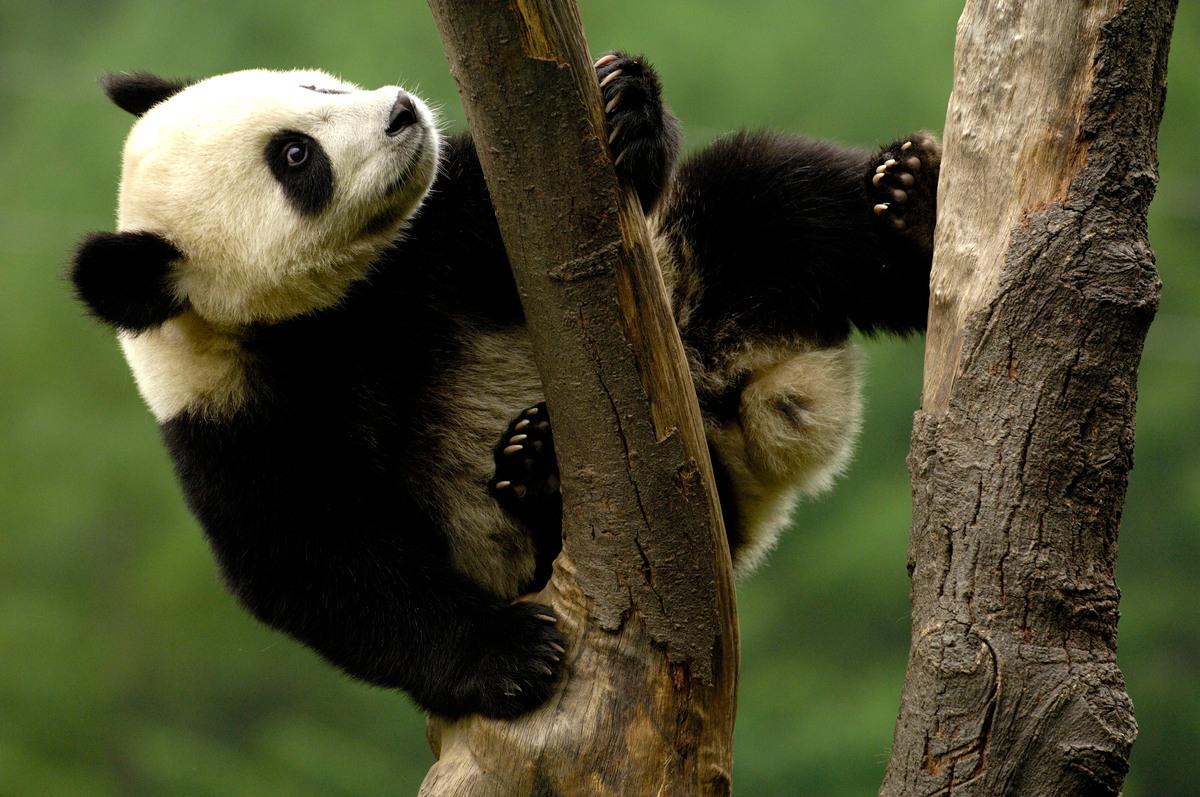 День панди: 10 цікавих фактів про чорно-білого ведмедя, символ WWF