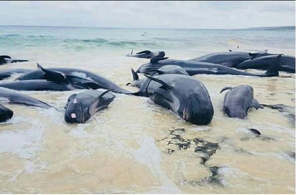 150 китов-пилотов выбросились на берег в Австралии