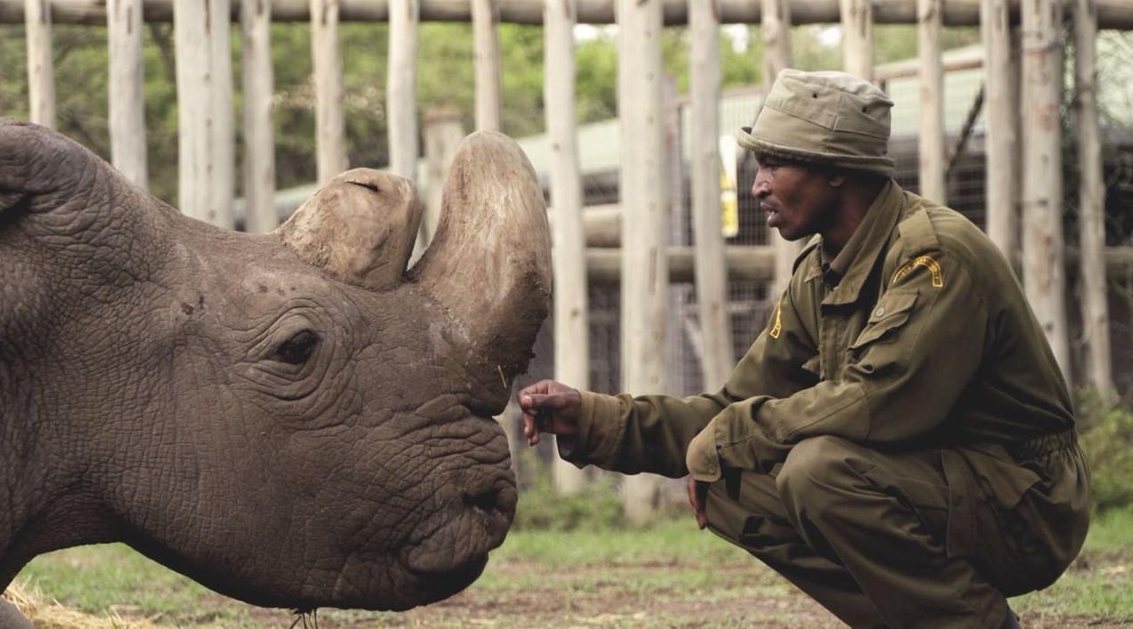 Умер последний самец северного белого носорога.Вокруг Света. Украина