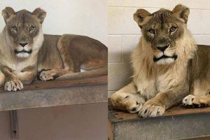 В американском зоопарке львица стала львом