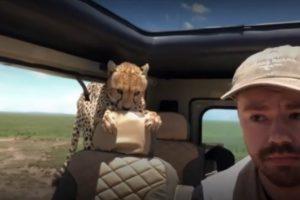 В Танзании два гепарда атаковали машину туристов