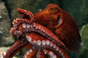 Гигантский осьминог сделал селфи в Аквариуме Вирджинии (видео)