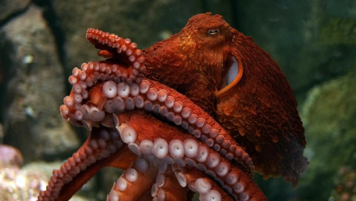 Гигантский осьминог сделал селфи в Аквариуме Вирджинии (видео).Вокруг Света. Украина