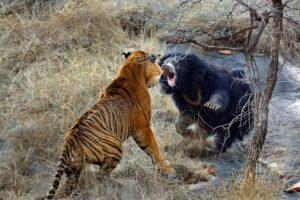 Cхватка тигра с медведем — видео