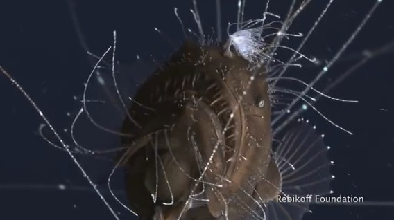 Ученые впервые сняли на видео любовь морских чертей