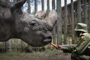 В мире осталось три белых носорога. Один из них смертельно болен