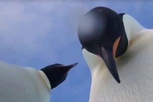 В  Антарктиде пингвины сделали селфи-видео