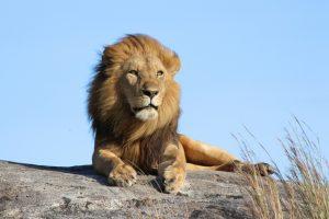 В доисторической Кении жили пещерные львы ростом с человека