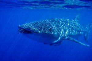 Ученые поплавали с китовой акулой у Галапагосских островов