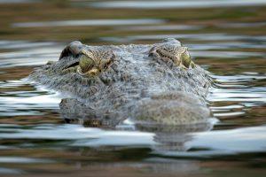 Австралия объявила о нашествии крокодилов