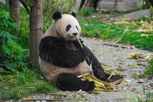 Панды могут нейтрализовать смертельный яд