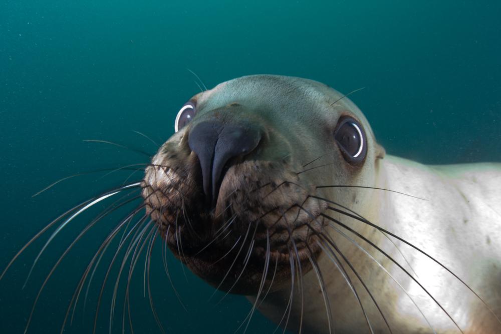 В Канаде морского льва вытащили из петли.Вокруг Света. Украина
