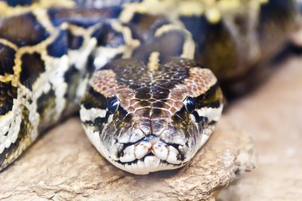 Голодавшая год змея проглотила оленя целиком