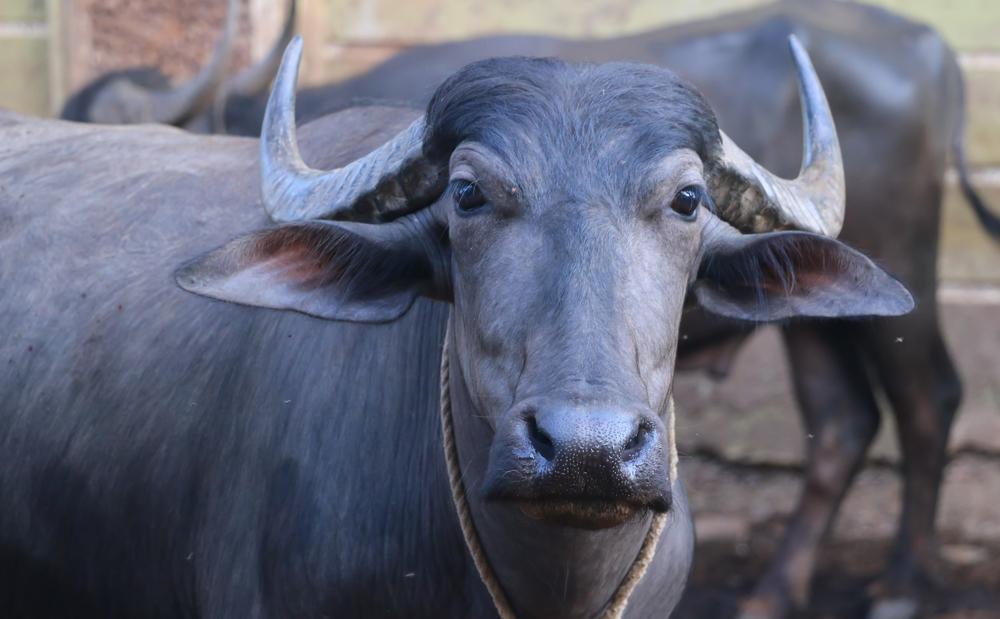 В Индии бык напал на женщину посреди оживленной улицы