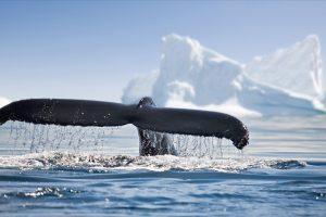 Украинцы в Антарктике опознают каждого кита