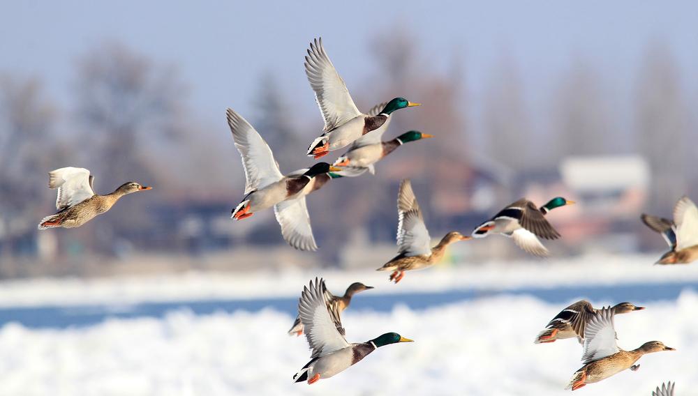 Как перелетные птицы находят дорогу?
