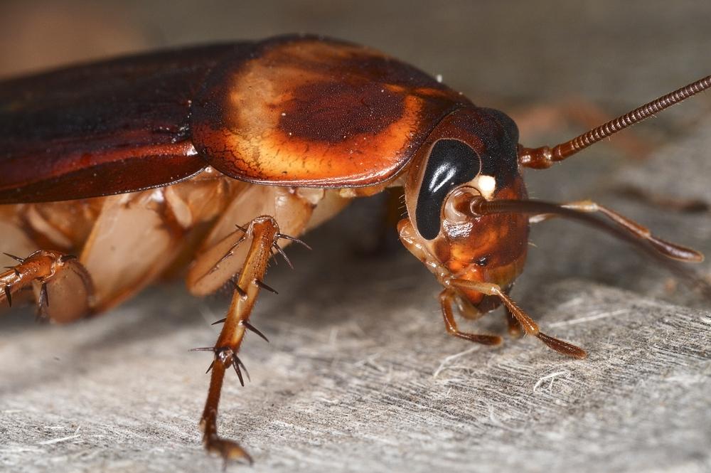Почему тараканы процветают на всей планете