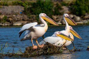 Голоса выдры и пеликана превратили в музыкальные треки ко Дню защиты рек