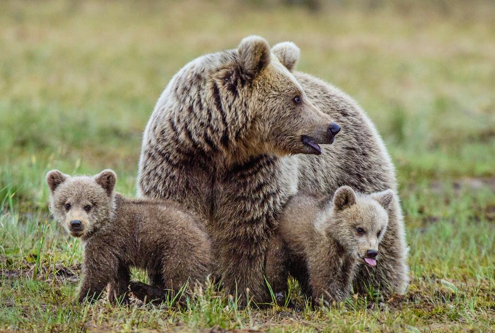 Люди повлияли на семейные отношения диких медведей
