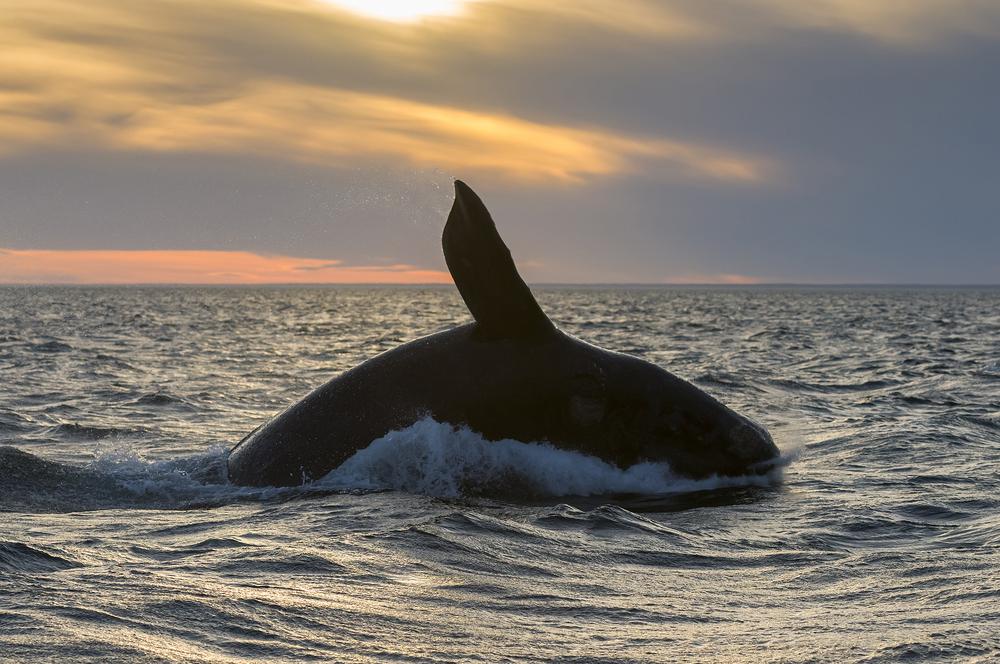 Мы их теряем: атлантические киты не дали потомства