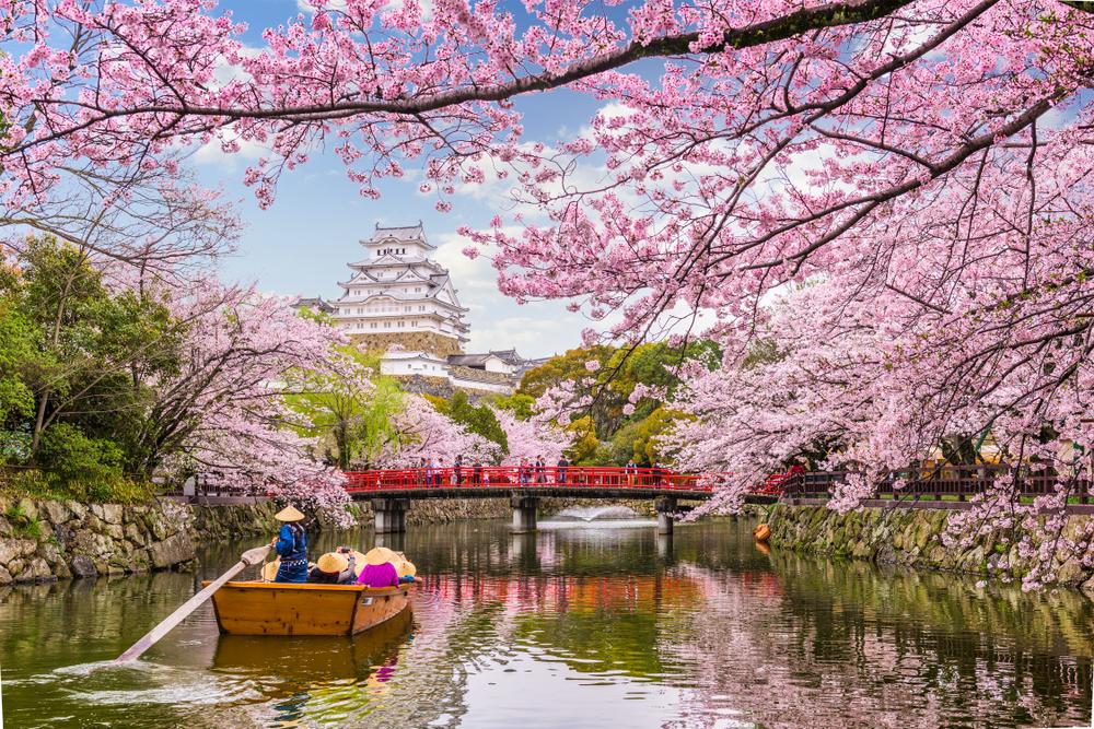 На юге  Японии зацвели сакуры (видео)