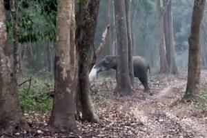 В Индии сняли курящую слониху