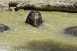 В Индии слоненка спасли экскаватором