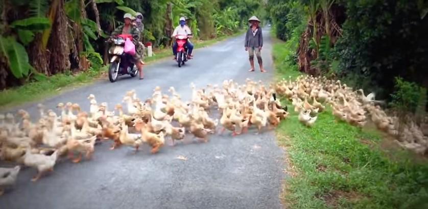 Вьетнамские утки — это сила