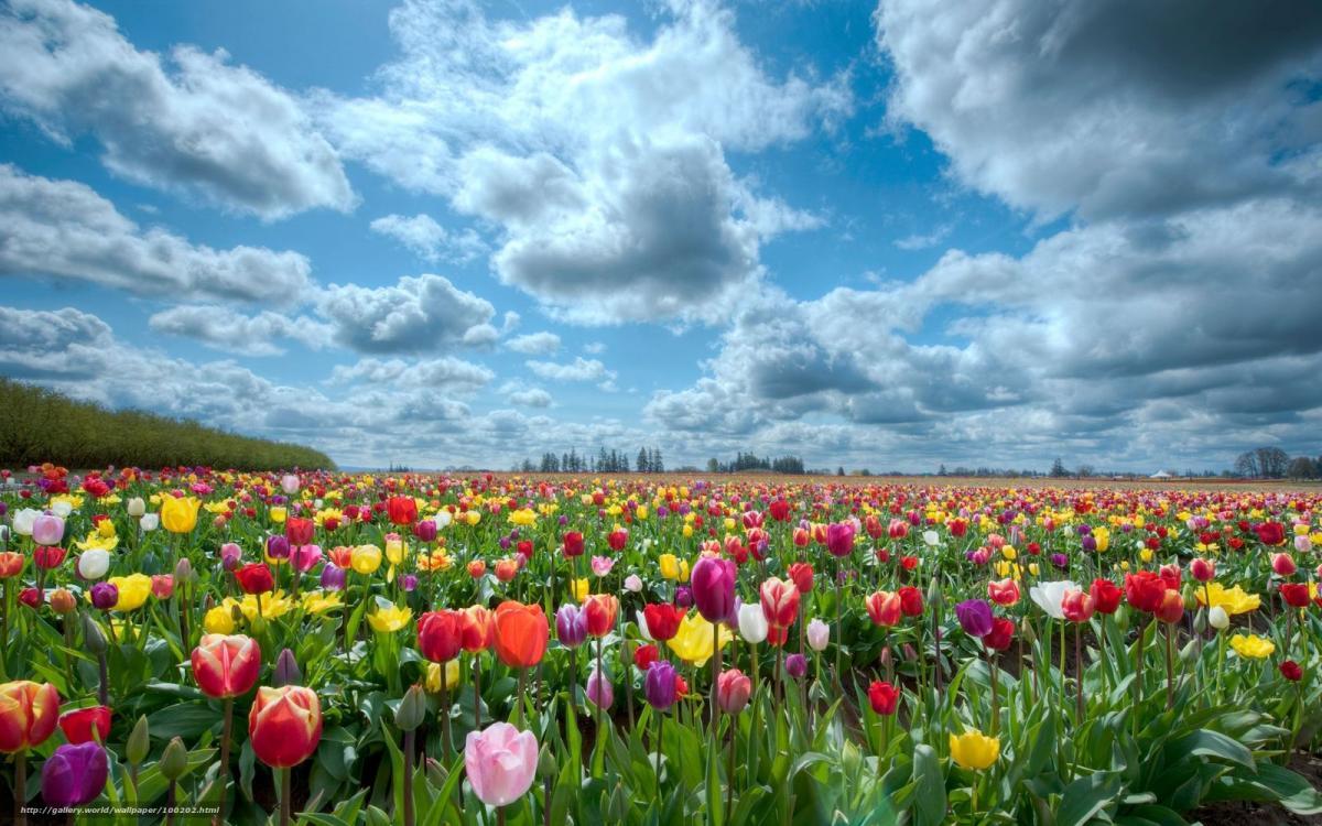 На Буковине стартовал фестиваль тюльпанов На Буковине стартовал фестиваль тюльпанов 1 10