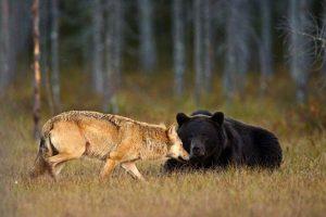 Фотограф подсмотрел дружбу волка и бурого медведя
