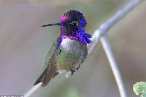 Самцы колибри поют хвостом и обманывают самок