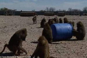 Изобретательные бабуины сбежали из лаборатории в Техасе (видео)