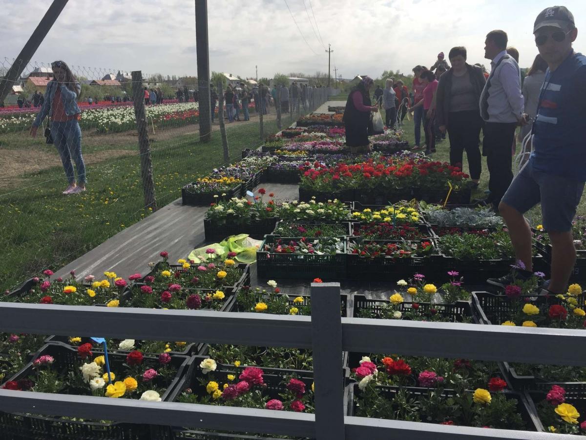 На Буковине стартовал фестиваль тюльпанов На Буковине стартовал фестиваль тюльпанов 7 4