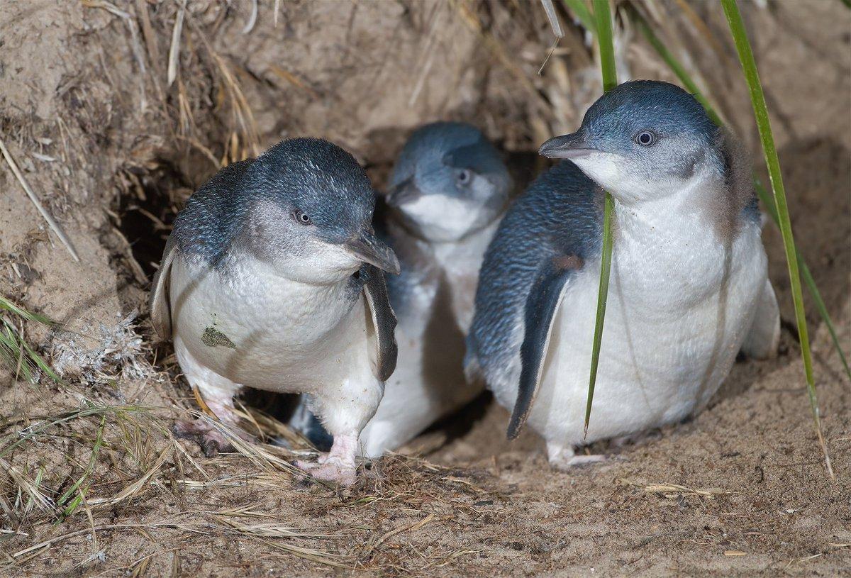 У берегов Новой Зеландии от голода погибли тысячи голубых пингвинов