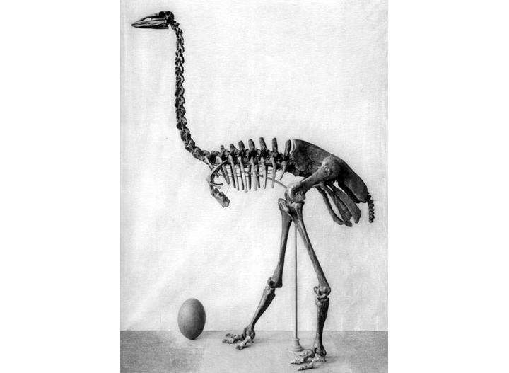 Гигантское яйцо вымершей птицы-слона случайно обнаружили в запасниках музея Гигантское яйцо вымершей птицы-слона случайно обнаружили в запасниках музея aepyornis maximus